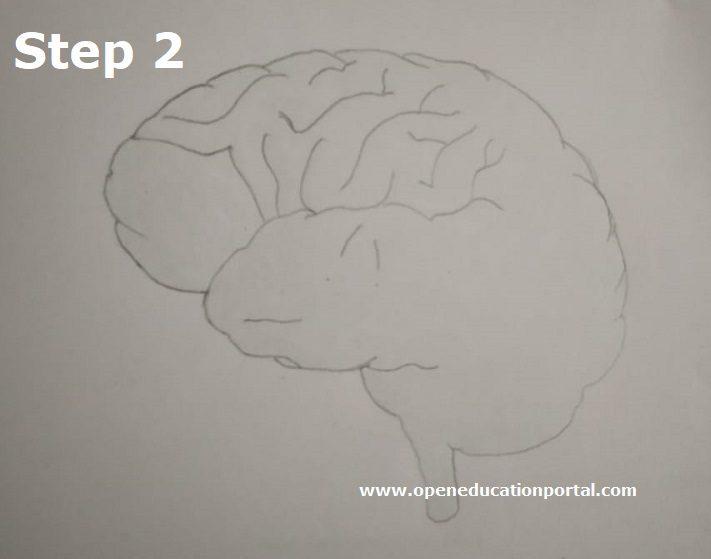 how to draw human brain step2