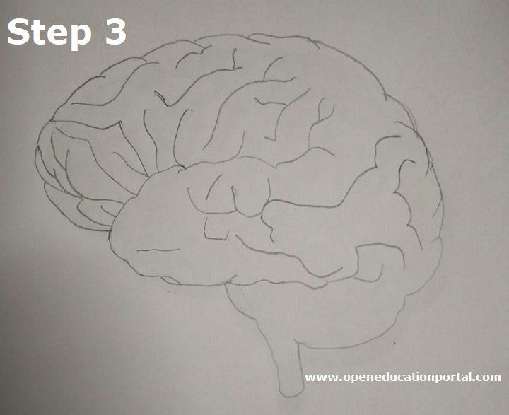 how to draw human brain step3