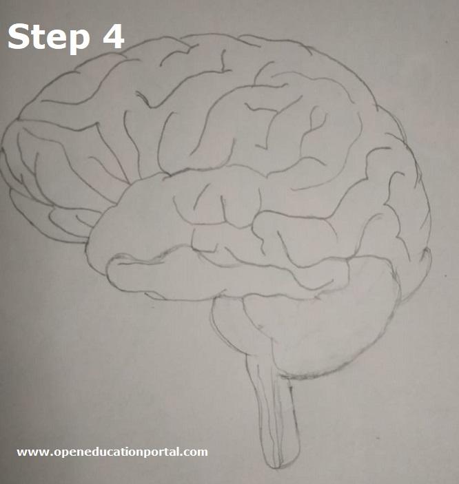 how to draw human brain step4