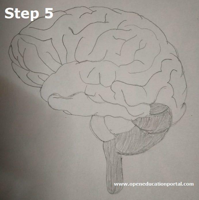 how to draw human brain step5